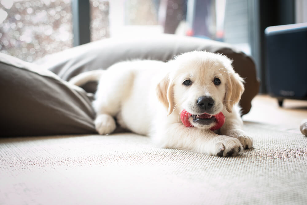 Puppy Proof Your Apartment | Bringing a New Puppy Home