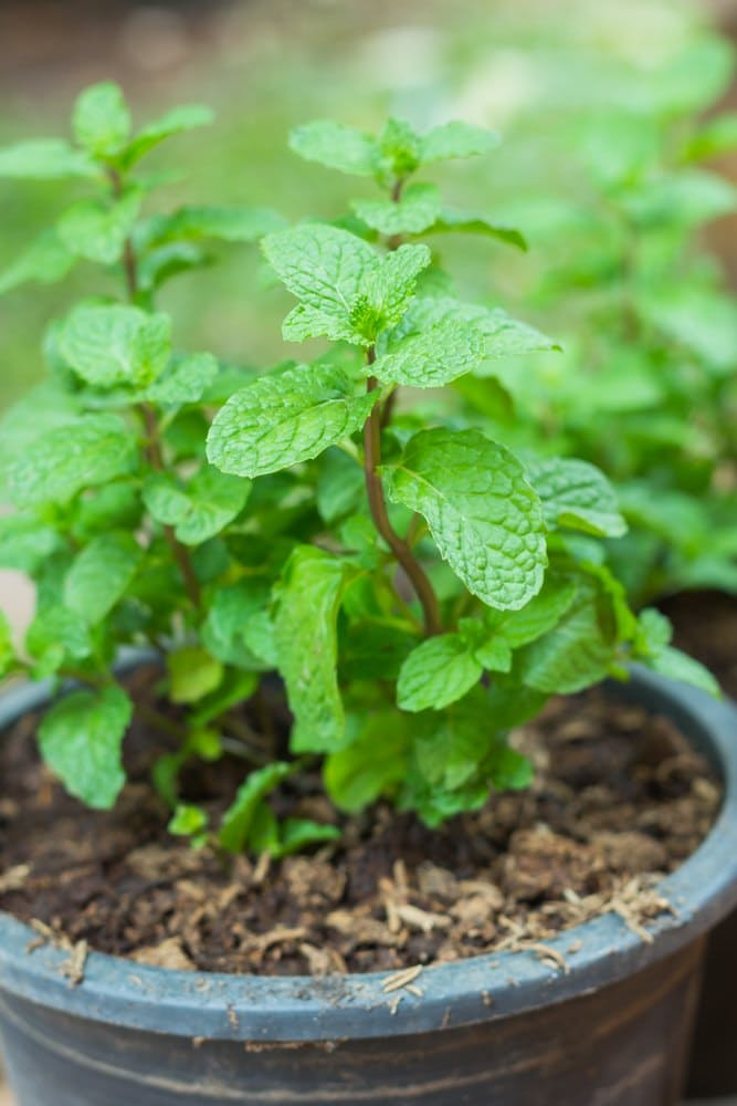 Indoor Herb Garden | Growing Mint